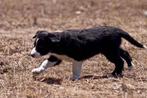 I iz a sheepdog