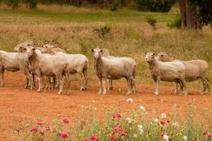 sheep-2196