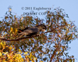 @Eagleburra Red Tailed Black Cockatoo