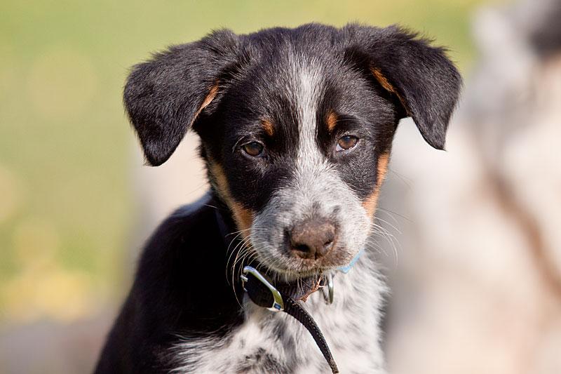 Tri-colour Working border collie pup